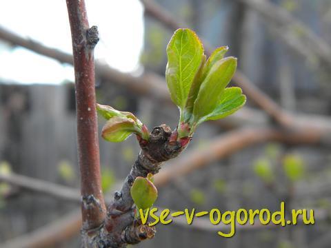 как посадить яблоню, как правильно посадить яблоню, посадка плодового дерева, когда сажать яблони