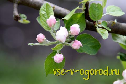 цветки на яблоне - признак урожая