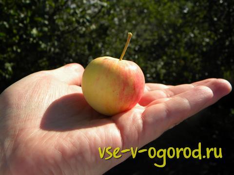 яблоко на ладони, свежий урожай яблок