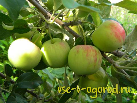 дружные яблочки на ветке
