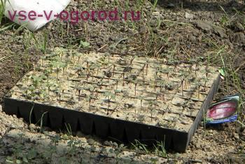 Из застекленных теплиц рассаду переносят под пленку