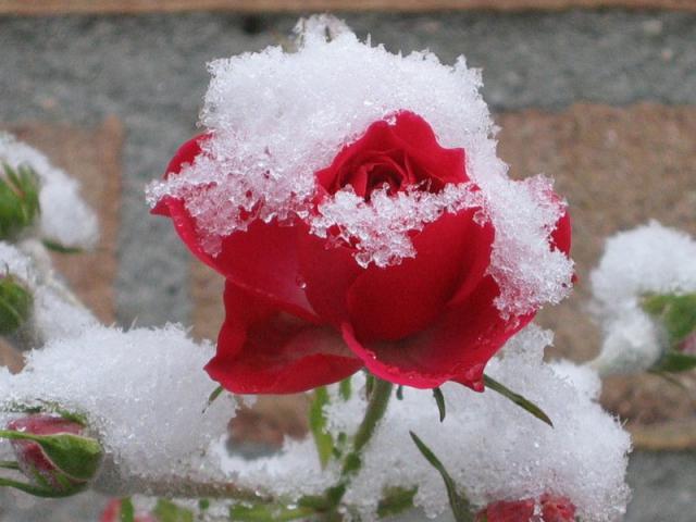 открывать, розы, весной, выпревание, опоздать, лечебные