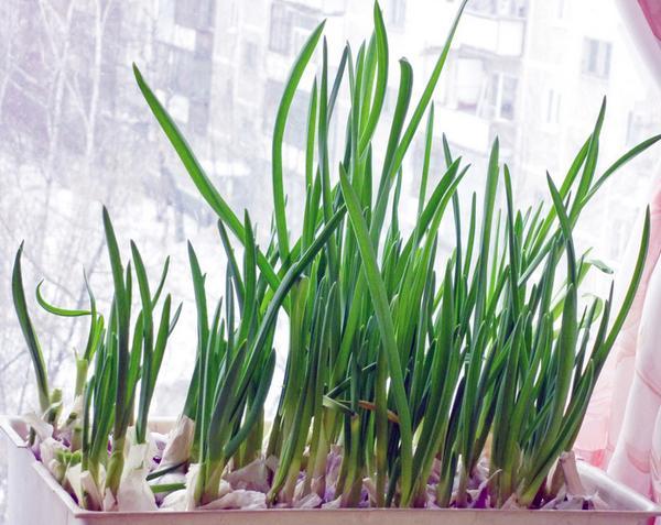 Как вырастить лук дома 2 пошаговые инструкции с фото 94
