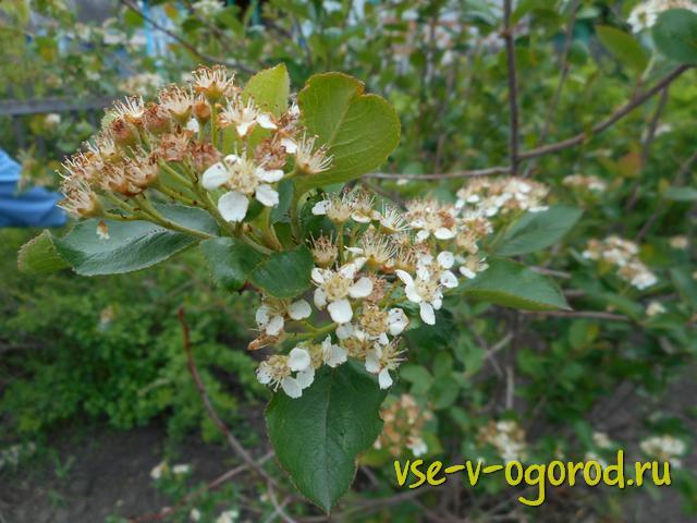 Цветение аронии черноплодной
