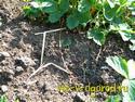 обрезка усов,садовая земляника,клубника,отростки,садоводы,рассада,массовое появление усов, отростки