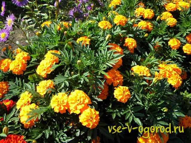 Какие цветы сажают весной, посадка весенних цветов рассадой, посадка весенних цветов семенами, посадка весенних цветов делением, посадка весенних цветов черенкованием