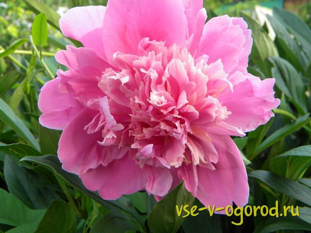 Выращивание розы на английском 44