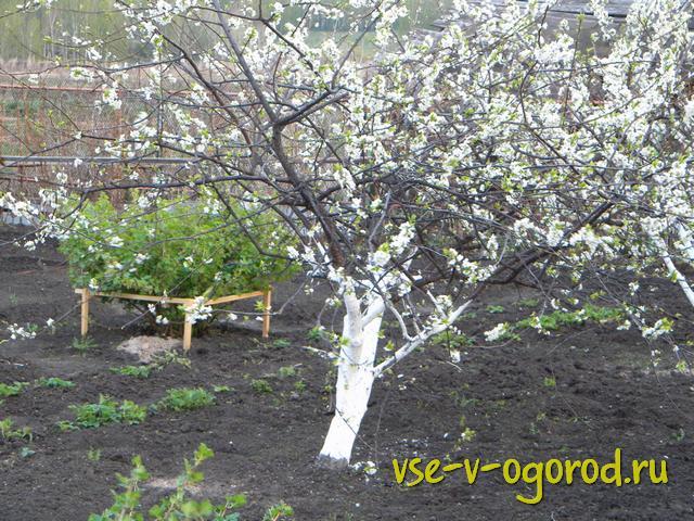 Слива сажать осенью или весной 250