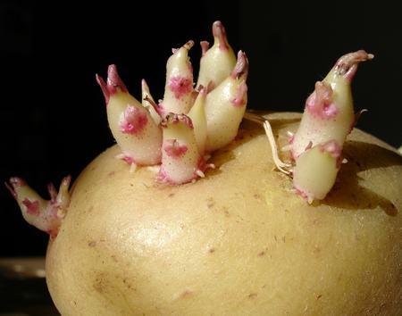 Как уберечь картофель от прорастания