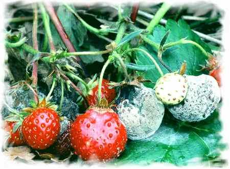 Плодовых деревьев и ягодных культур