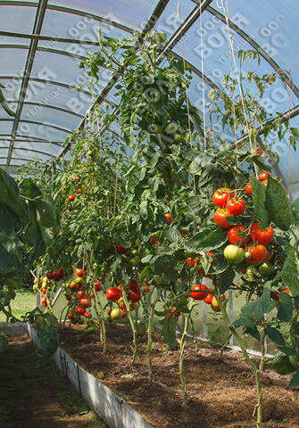 Выращивание помидор в зимних